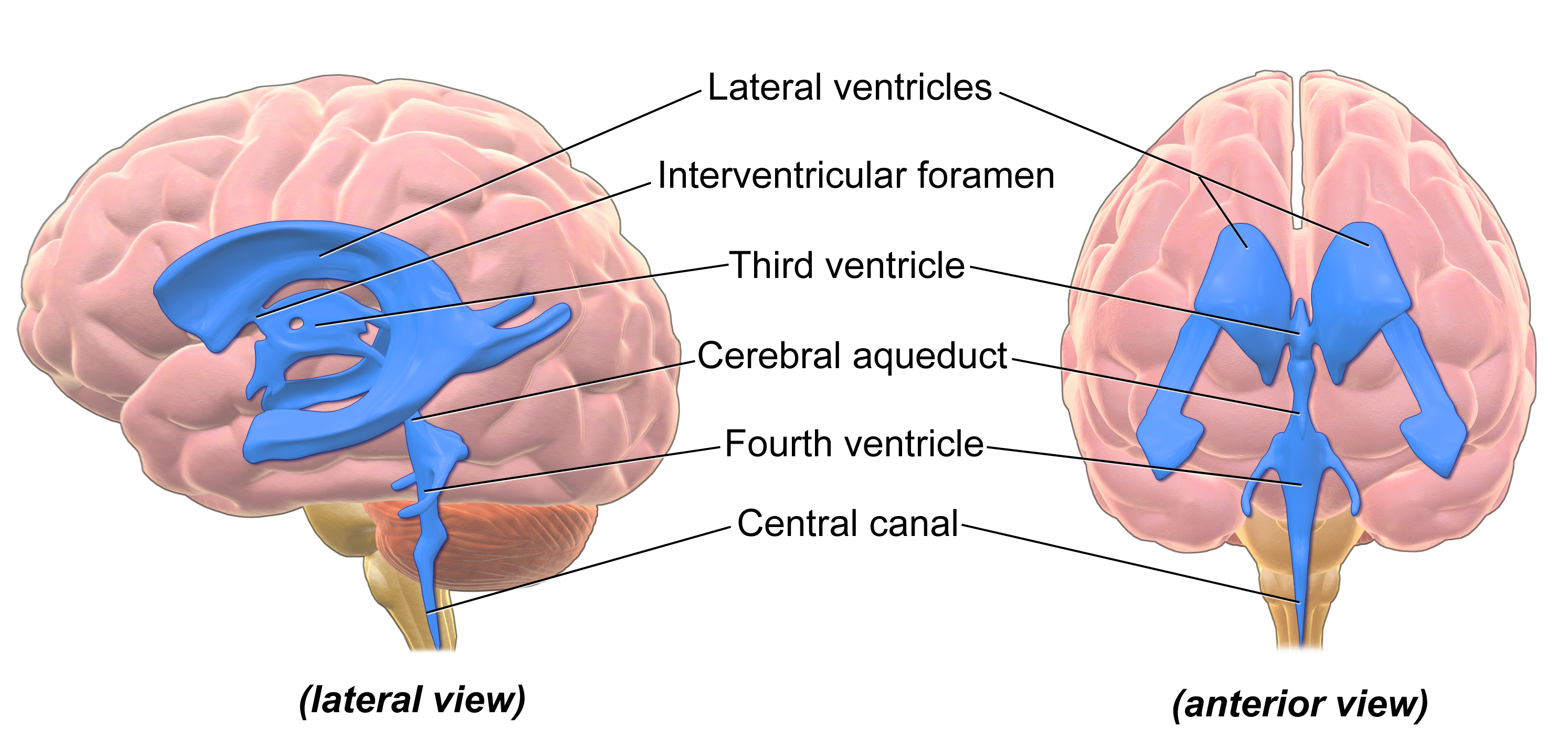 Lateral and anterior view of the ventricles represented by blue regions within the brain